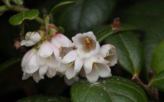 Vaccinium vitis-idaea flowers · bruknė 1771
