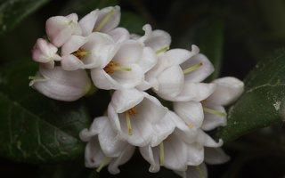 Vaccinium vitis-idaea flowers · bruknė 1772