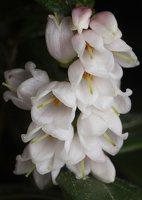 Vaccinium vitis-idaea flowers · bruknė 1773