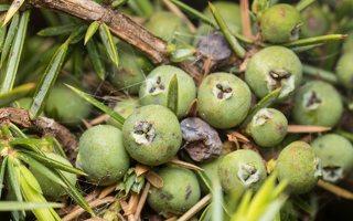 Juniperus communis · paprastasis kadagys, uogos 1930
