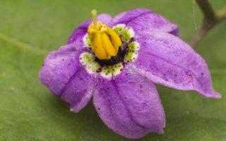 Solanum dulcamara · karklavijas 2264