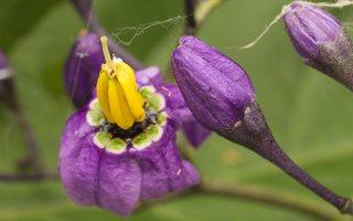 Solanum dulcamara · karklavijas 2267