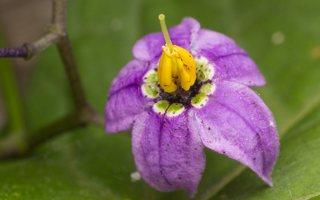 Solanum dulcamara · karklavijas 2268