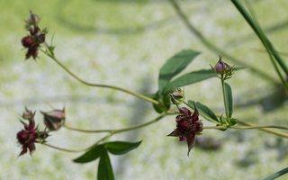 Potentilla palustris · pelkinė sidabražolė 2351
