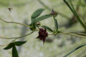 Potentilla palustris · pelkinė sidabražolė 2352