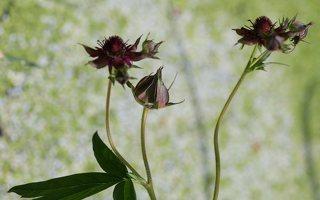 Potentilla palustris · pelkinė sidabražolė