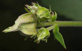 Potentilla palustris · pelkinė sidabražolė 2357
