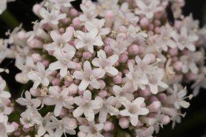 Valeriana officinalis flowers · vaistinis valerijonas, žiedai 3116