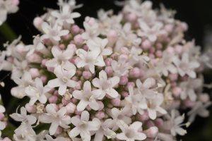 Valeriana officinalis flowers · vaistinis valerijonas, žiedai 3117