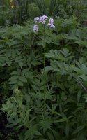 Valeriana officinalis · vaistinis valerijonas 3118