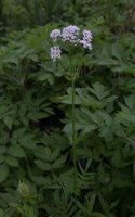 Valeriana officinalis · vaistinis valerijonas 3119
