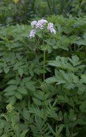 Valeriana officinalis · vaistinis valerijonas 3120
