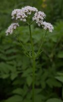 Valeriana officinalis · vaistinis valerijonas 3122