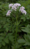Valeriana officinalis · vaistinis valerijonas 3123