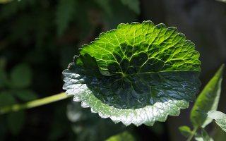 Ranunculus cassubicus · kašubinis vėdrynas