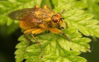 Scathophagidae · mėšlamusės