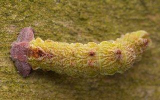 Geometra papilionaria caterpillar · didysis žaliasprindis, vikšras 1678