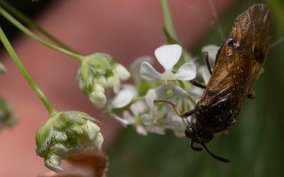 Hymenoptera · plėviasparnis 1840