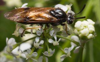 Hymenoptera · plėviasparnis 1841