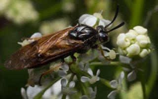 Hymenoptera · plėviasparnis 1842
