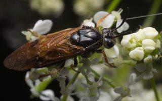 Hymenoptera · plėviasparnis 1843
