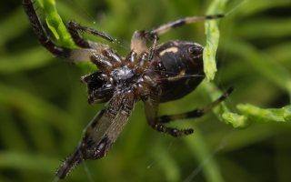 Araneae · vorai 1844
