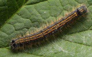 Malacosoma neustria caterpillar · žieduotasis verpikas, vikšras 1846