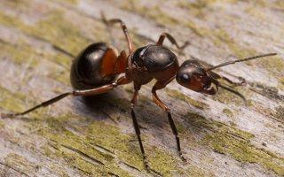 Formicidae · skruzdėlės 1850