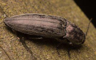 Actenicerus siaelandicus · strazdanotasis spragšis 1856