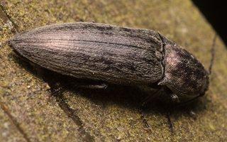 Actenicerus siaelandicus · strazdanotasis spragšis 1857