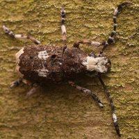 Platystomos albinus male · paprastasis netikrastraublis ♂ 1860