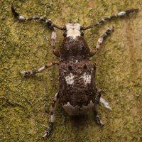 Platystomos albinus male · paprastasis netikrastraublis ♂ 1861