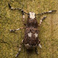 Platystomos albinus male · paprastasis netikrastraublis ♂ 1862