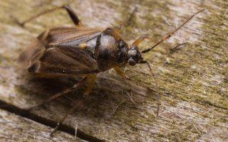 Lygus rugulipennis · įvairiaspalvė žolblakė 1863