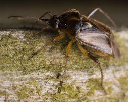 Lygus rugulipennis · įvairiaspalvė žolblakė 1866