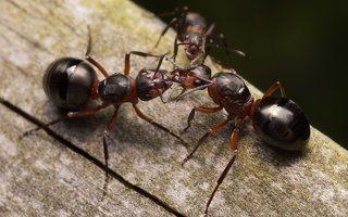 Formicidae · skruzdėlės 1868