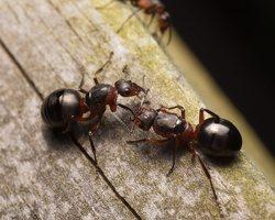 Formicidae · skruzdėlės 1870