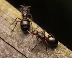 Formicidae · skruzdėlės 1871