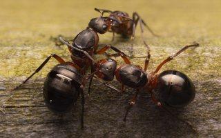 Formicidae · skruzdėlės 1872