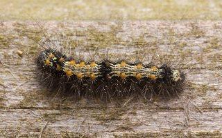Lithosia quadra caterpillar · keturtaškė kerpytė, vikšras 1876