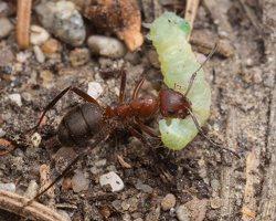 Formicidae · skruzdėlės 1906