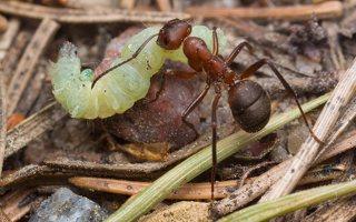 Formicidae · skruzdėlės 1910