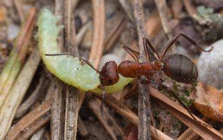 Formicidae · skruzdėlės 1911