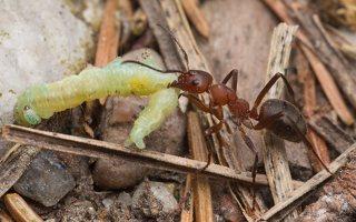 Formicidae · skruzdėlės 1914