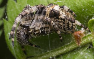 Araneus angulatus · kauburiuotasis kryžiuotis 1919