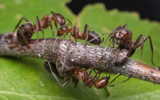 Formicidae · skruzdėlės 1928