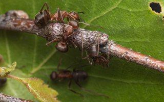 Formicidae · skruzdėlės 1929
