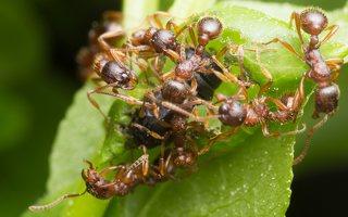 Formicidae · skruzdėlės 1952