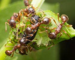 Formicidae · skruzdėlės 1953
