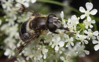 Syrphidae · žiedmusės 1969